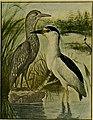 American bird magazine, ornithology (1903) (17932111369).jpg