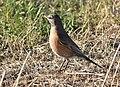 American robin on Seedskadee National Wildlife Refuge (42026023721).jpg