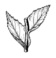 Amplexicaul leaves (PSF).png