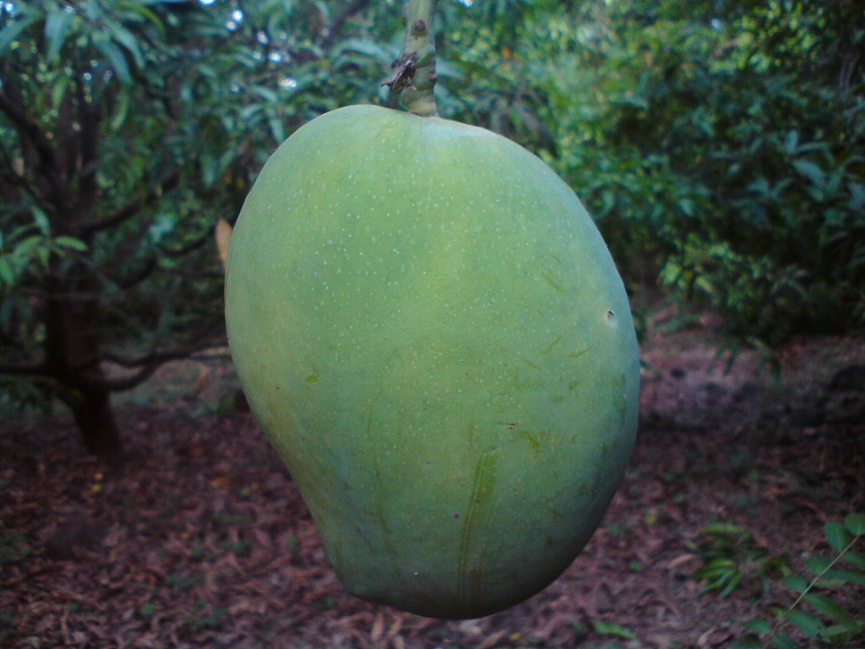 An Unripe Mango Of Ratnagiri (India)