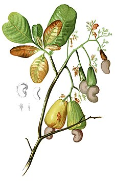 Anacardium occidentalis Blanco1.116-cropped.jpg