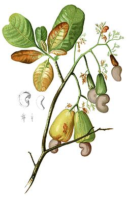 Anacardium occidentalis