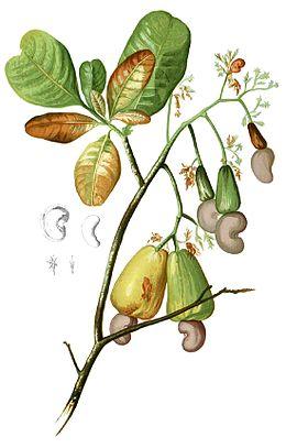 Anacardium occidentalis Blanco1.116-cropped