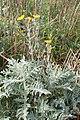 Andryala pinnatifida kz11.jpg