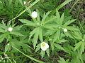 Anemone canadensis 1-eheep (5097232667).jpg
