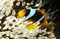 Anemonefish (clownfisch) im Roten Mer in Ägypten..DSCF4711ОВ.jpg