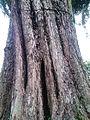 Angsana tree trunk.jpg