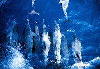 .::Delfín manchado Tropical::. 200px-Anim0830