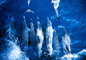 Pantropical spotted dolphin - Dolphin swimming ahead of the NOAA Ship Rude