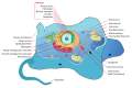 Animal cell structure en.svg