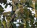 Anogeissus latifolia (5339496070).jpg