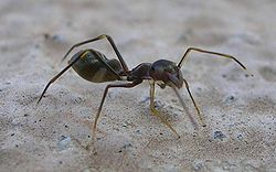 An ant-mimicking jumping spider