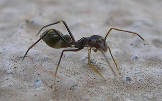 An ant-mimicking jumping spider Ant Mimic Spider.jpg