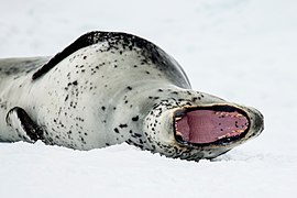 Antarctic Sound-2016-Brown Bluff–Leopard seal (Hydrurga leptonyx) 05.jpg