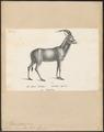 Antilope leucophaea - 1809-1845 - Print - Iconographia Zoologica - Special Collections University of Amsterdam - UBA01 IZ21400243.tif