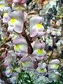 Antirrhinum graniticum FlowersCloseup2 2009April26 SierraMadrona.jpg