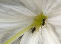 Ants climbing into flower, Taman Sari, Yogyakarta, 2014-05-07.jpg