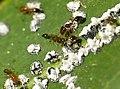 Ants tending scales.jpg