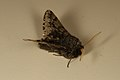 Apocheima hispidaria (33018856042).jpg