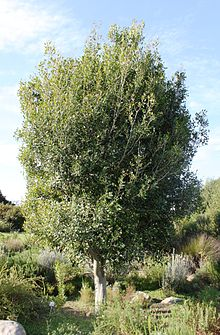 Apodytes dimidiata tree - Cape Town 77.jpg