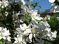 Apple blossom (Malus domestica) 22.JPG