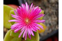 Aptenia cordifolia flower IB