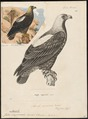 Aquila imperialis - 1700-1880 - Print - Iconographia Zoologica - Special Collections University of Amsterdam - UBA01 IZ18100193.tif