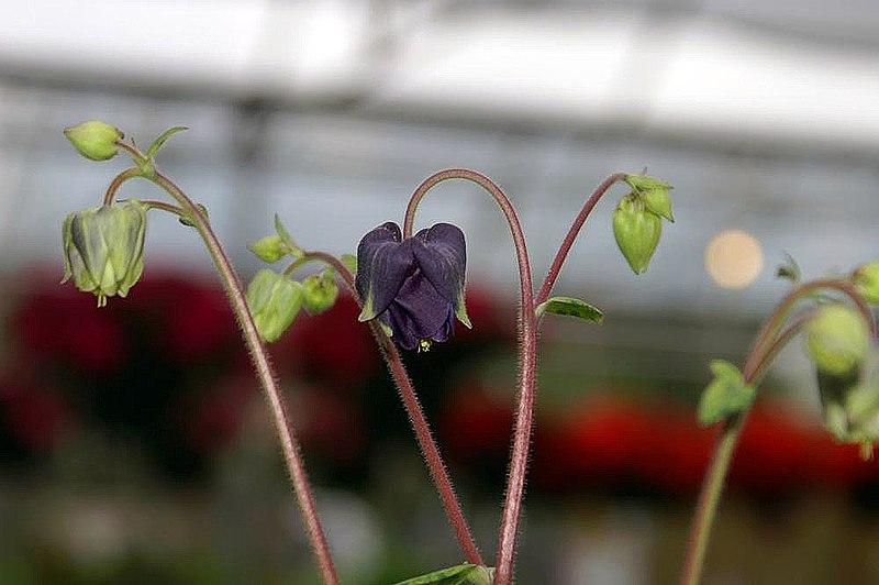 File:Aquilegia vulgaris Leprechaun Gold 1zz.jpg