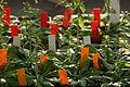 Arabidopsis-Pflanzen.jpg