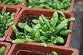 Arabidopsis Thaliana planted in Laboratory.JPG