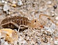 Arachnida, Solifugae, immature (4436710511).jpg