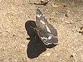 Araschnia levana f. prorsa - The Map (summer brood) - Пестрокрыльница изменчивая (летняя форма) (40439758984).jpg