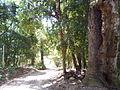 Araucária em Capela do Alto, Guapiara.JPG