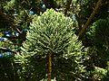 Araucaria cunninghamii 3 (SRBG).jpg
