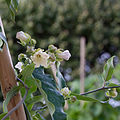 Araujia sericifera - Fleurs-3.jpg