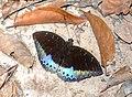 Archduke male (Lexias cf pardalis) (22187210808).jpg