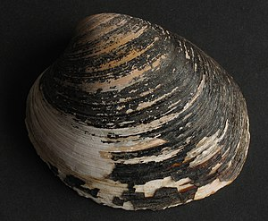 "Periostracum - The dark periostracum is flaking off of this dried-out valve of the ""ocean quahog"", marine bivalve Arctica islandica, from Wales"