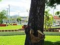 Ardilla en el Parque de los Caimanes, Chetumal, Q. Roo. - panoramio.jpg
