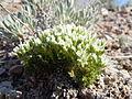 Arenaria hookeri (7273595014).jpg