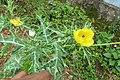 Argemone mexicana - Mexican Prickly Poppy - at Beechanahalli 2014.jpg