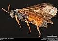 Argid sawfly (Argidae, Arge cyra (Kirby)) (36567658996).jpg