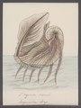 Argonauta argo - - Print - Iconographia Zoologica - Special Collections University of Amsterdam - UBAINV0274 090 01 0007.tif