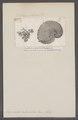 Argonauta tuberculosa - - Print - Iconographia Zoologica - Special Collections University of Amsterdam - UBAINV0274 090 01 0010.tif