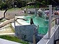 Ariranha - Zoo Quinzinho de Barros at Sorocaba - SP - Brazil.jpg