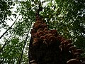 Armillaria on a tree in the Spandauer Forst 1.jpg
