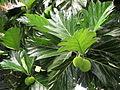Artocarpus altilis (11033991205).jpg