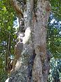 Artocarpus heterophyllus-Jardin botanique de Kandy (2).jpg
