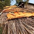 Artocarpus lakoocha écorce Laos.jpg