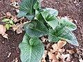 Arum pictum 01.jpg