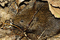 Arvicola sapidus 03 by-dpc.jpg